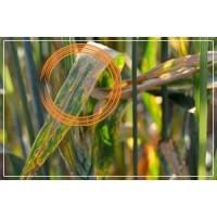 Захист від перенефорозу пшениці